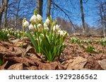 Leucojum Vernum  Called Spring...