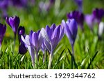 Crocus Blossom In Germany In...