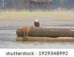 Bald Eagle Sitting On Logs In A ...