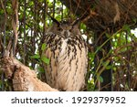 Eagle Owl  Bubo Bubo  In...