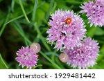 a pretty ladybug on a lavender...