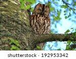 Tawny Owl  Strix Aluco  Asleep...