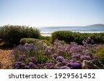 Purple Flowers Along The Coast