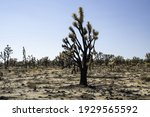 Burned Joshua Tree Forest In...