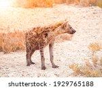 hyena  or hyaena  feliform... | Shutterstock . vector #1929765188