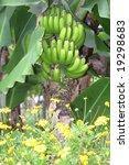 bunch of bananas growing on... | Shutterstock . vector #19298683