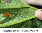 Silverleaf whitefly  bemisia...