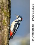 The Great Spotted Woodpecker ...
