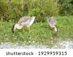 Two Geese Finding Things To Eat ...