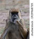 Baboons In Amboseli National...
