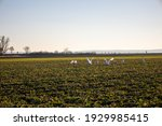 A Flock Of Young Swans In The...