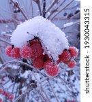 Bunches Of Bright Red Viburnum...