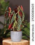 Tropical 'begonia Maculata'...
