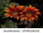 Two Gerberas Orange Flower...