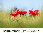 Poppy Flowers. Spring Summer...
