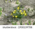 Yellow Botanical Daffodils ...