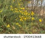 Golden Yellow Flower Heads On A ...