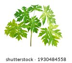Top View Of Green Leaves Papaya ...