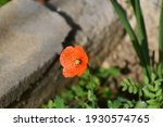 Small photo of Closeup of a poppy flower. Papaver rhoeas, with common names including common poppy, corn red or field poppy, furthermore corn rose, is an annual species of flowering plant