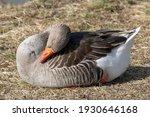 Sleeping Goose Beauty In Spring