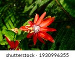 Red Passion Fruit Flower ...
