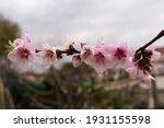 Peach Blossoms In Their Spring...