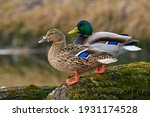 A pair of Mallard ducks resting motionless on a tree trunk. Sitting in the same position. Side view, closeup. Genus species Anas platyrhynchos.