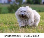 White Dog With Long Hair ...
