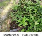 Small photo of green leafy brittle bladder fern