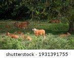 Banteng Herd Resting On A Grass ...
