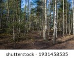 Forest Landscape With Birch...