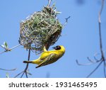 Southern Masked Weaver Is...