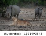 A Female Lion With 2 White...