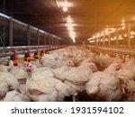 White Chicken In Smart Farming...