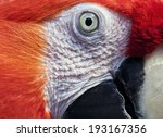 Macaw Eye.ara Macao.