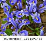 Mini Blue Iris In Early Spring