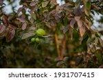 guava fruit tree in an organic... | Shutterstock . vector #1931707415