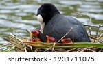 Female Coot And Chicks On The...