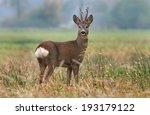 Deer In A Field. Deer With Big...
