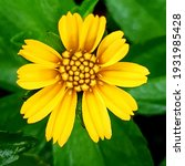 Beautyful wedellia flowers in light colors