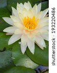 white lotus or water lily in... | Shutterstock . vector #193220486