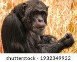 Closeup of a chimpanzee with a...