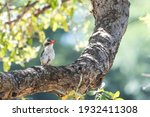 Brown Hooded Kingfisher With...