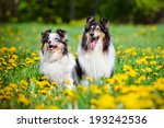 Two Rough Collie Dogs
