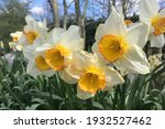 White And Yellow Daffodils...