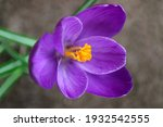 Purple Crocus With Soft Petals...