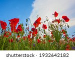 Bright Red Poppy Flowers On The ...