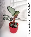calathea picturata is a species ...   Shutterstock . vector #1932656945