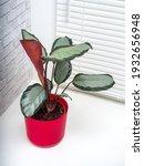 calathea picturata is a species ...   Shutterstock . vector #1932656948