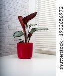 calathea picturata is a species ...   Shutterstock . vector #1932656972